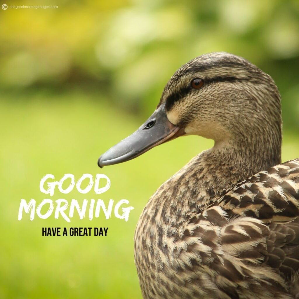 good morning duck images