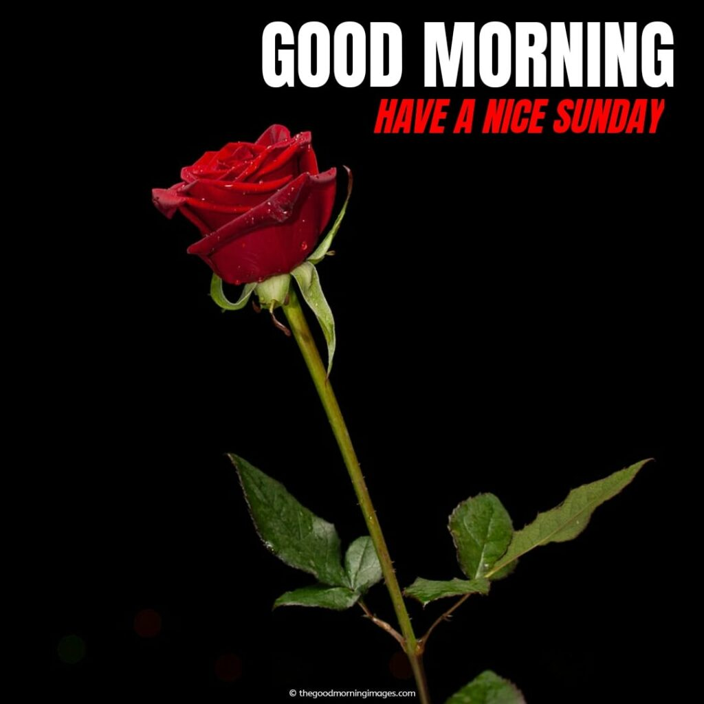 nice good morning with roses