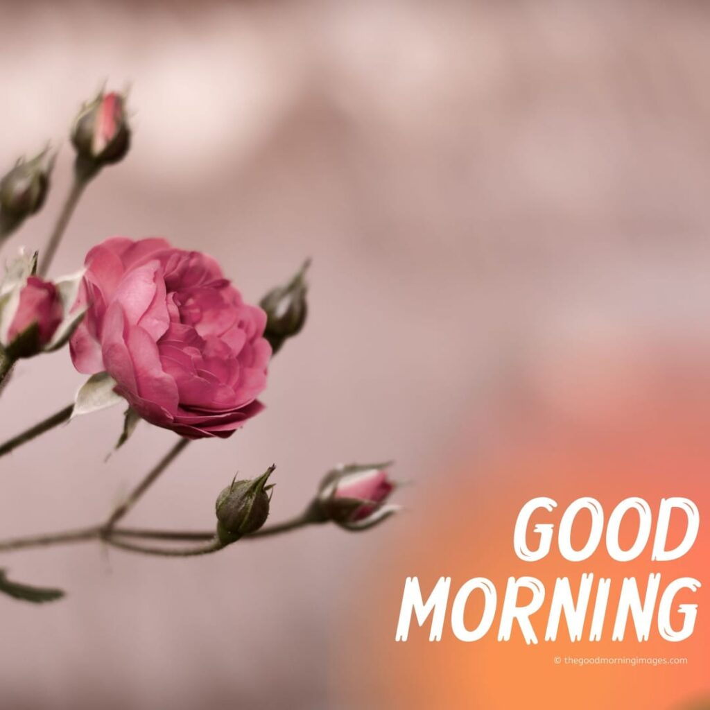 Good Morning Images hd roses