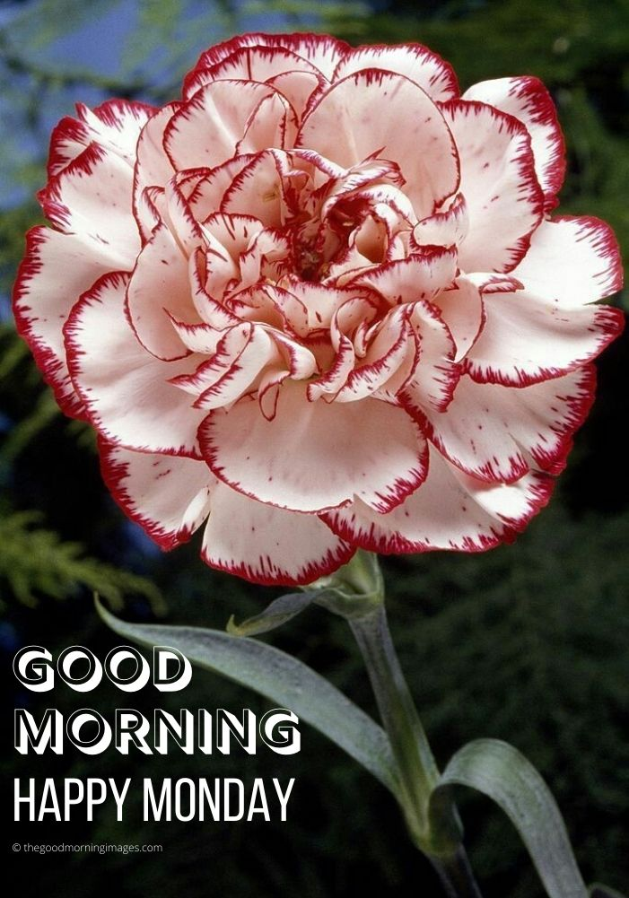 Good Morning red flowers Monday Images