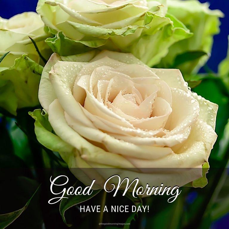 good morning white rose images