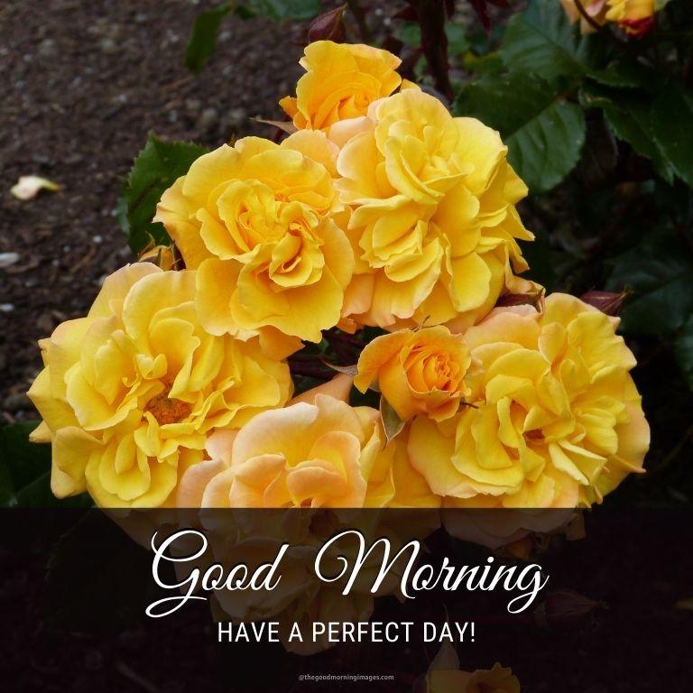 good morning yellow rose photos