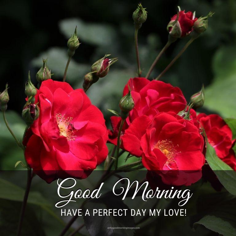 morning red rose image