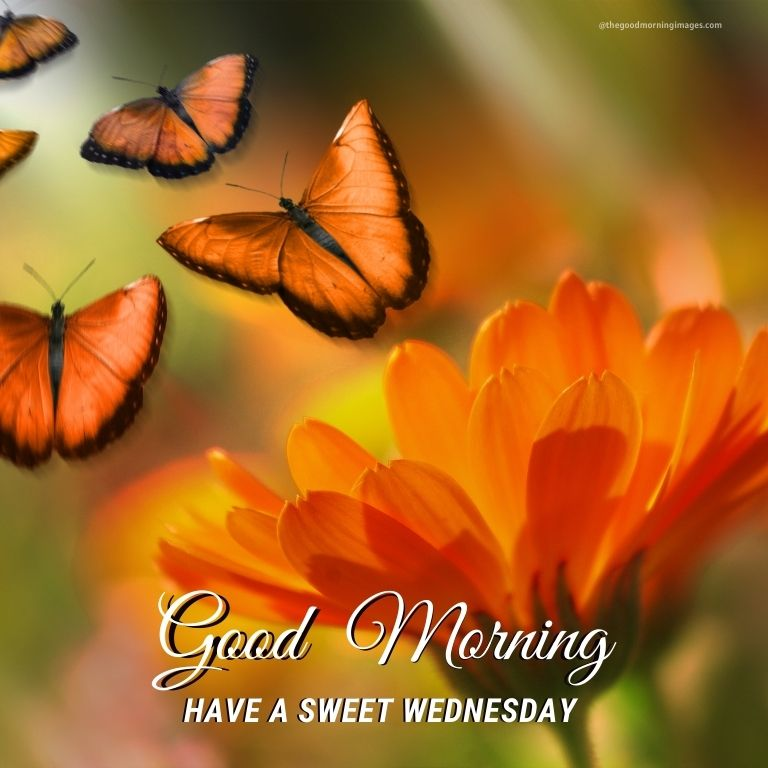 Good Morning Wednesday colorful butterfly Images